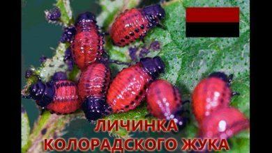 Photo of Колорады говорите?