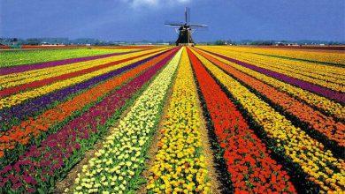 Photo of Тюльпаны завяли: исповедь патриота