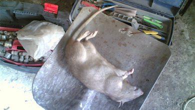 Photo of Крысу достали из угольного мешка
